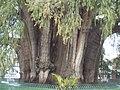 Tule tree Mexico.JPG
