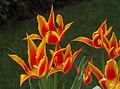 Tulipe 'Fly Away'.jpg