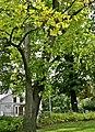 Tulpenbaum (Liriodendron tulipifera)