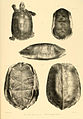 Turtle sketches of British India (2).jpg