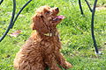 Twelve (12) Week Old Cockapoo.jpg