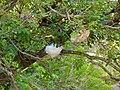 Two Foam Nests of Grey Foam-nest Treefrog (Chiromantis xerampelina) (11434931315).jpg