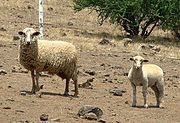 Two sheep in Santiago, Chile