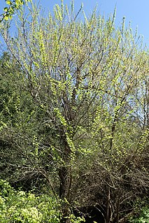 """<i>Ulmus minor <span style=""""font-style:normal;"""">subsp.</span> canescens</i> Subspecies of tree"""
