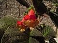 Uma flor de Belisario. - panoramio.jpg