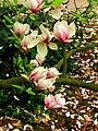 Unidentified Magnolia soulangeana.jpg