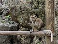 Unidentified monkey, Puton, Desa Trimulyo, Jetis, Bantul.jpg