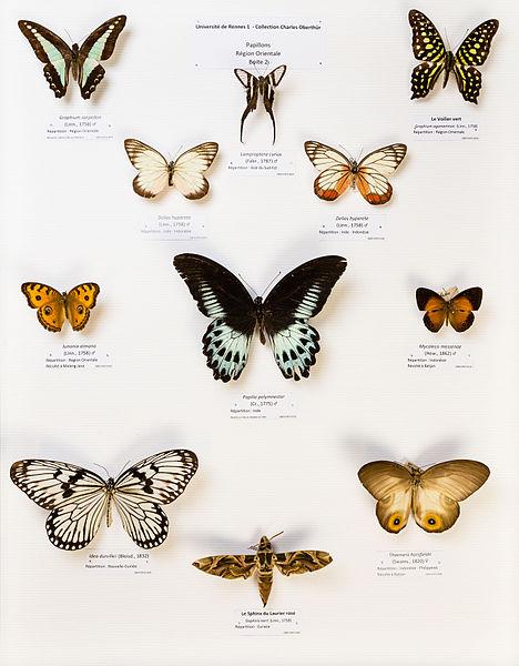File:Université de Rennes 1, collection Charles Oberthür, papillons, région orientale, boîte 2.jpg