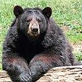 Ursus americanus PO 01.jpg