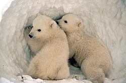Filhotes de urso-polar.