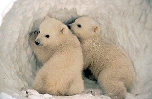 English: Polar Bear (Ursus maritimus) cubs.