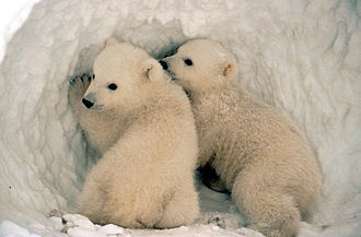 Polar bear - Cubs are born helpless and typically nurse for two and a half years