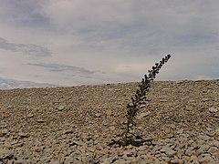 Ussikeel (Echium vulgare).jpg