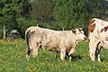 Vaches allée Pré Brus St Cyr Menthon 3.jpg