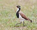 Vanellus tricolor - Gretna.jpg
