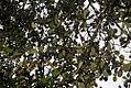 Vanilla planifolia 7zz.jpg