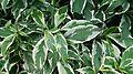 Variegated Caricature Plant (Gratophyllum pictum 'Album Variegatum').jpg