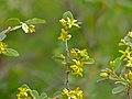 Velvet Raisin (Grewia flava) (11422946525).jpg