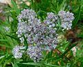 Vernonia capensis.jpg