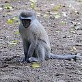 Vervet Monkey (2813507528).jpg