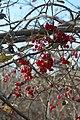 Viburnum in Russia.jpg