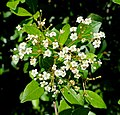 Viburnum obovatum - Marie Selby Botanical Gardens - Sarasota, Florida - DSC01618.jpg
