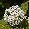 Viburnum tinus-Viorne tin-Corymbe-20190311.jpg