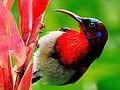 Vigors's Sunbird (Aethopyga vigorsii) Photograph By Shantanu Kuveskar.jpg