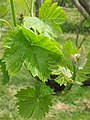 Vine Leaves and Flower Buds in Hale Valley Vineyard - geograph.org.uk - 1320335.jpg