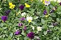 Viola Springtime Mix 0zz.jpg