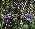 Viola pinnata 2.jpg