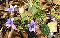 Viola reichenbachiana kz2.jpg