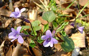 Viola reichenbachiana kz2