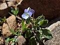 Viola subatlantica kz01.jpg