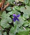 Violet, Brownstone - geograph.org.uk - 1168193.jpg