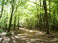 Vogesenwald am Col du Kammbuhl.JPG
