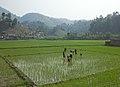 Vrouwen aan het werk in een rijstveld in Tanahu, Nepal, -26 april 2011 a.jpg