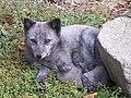 Vulpes lagopus - zoopark Dvorec.jpg