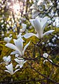 WLE - 2018 - Цвітіння магнолій у ботанічному саду ім. академіка О.В. Фоміна - 2.jpg