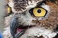 WR - Great Horned Owl 1 (5761440863).jpg