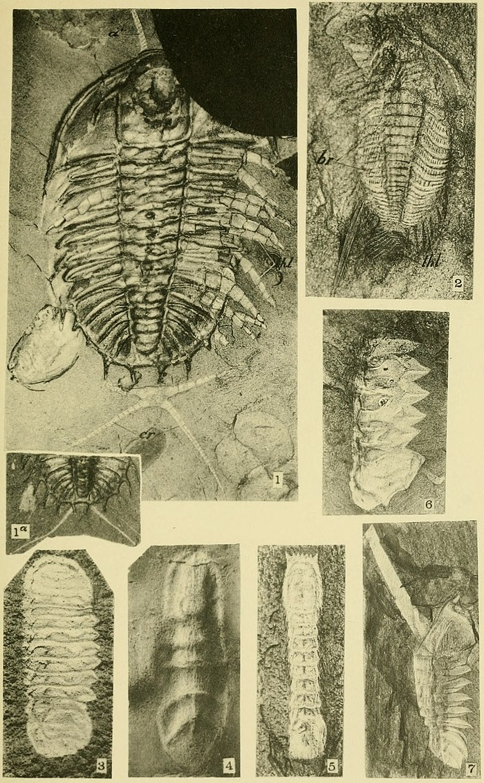 Walcott Cambrian Geology and Paleontology II plate 24.jpg