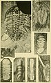 Walcott Cambrian Geology and Paleontology II plate 24.jpg