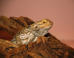 Washington DC Zoo - Inland Bearder Dragon 1.jpg