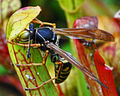 Wasp on a Sarracenia seedling (4994908238).jpg