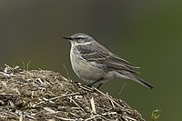Water Pipit - Aosta Valley - Italy.jpg