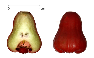 Myrtaceae - Syzygium samarangense, with a cross section of the fruit