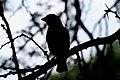 Weaver Bird Silhouette.jpg