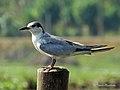 Whiskered Tern കരി ആള (13033568974).jpg