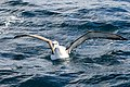 White-capped Albatross (8076884678).jpg
