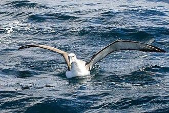 White-capped albatross - Image: White capped Albatross (8076884678)